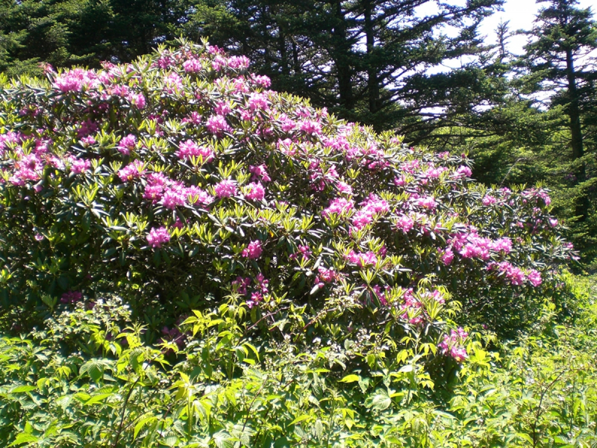 Roan Mountain Rhododendron Festival